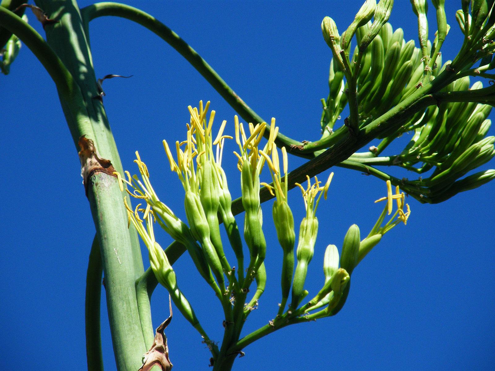 karkus-kipufogo-szerviz-agave-viragzas